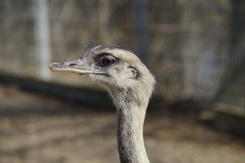 rhea bird bird flightless bird
