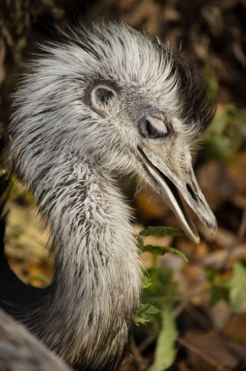 rhea bird south america big bird