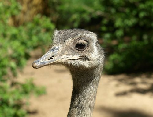 rhea bird flightless bird head