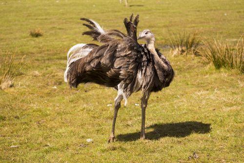 rhea bird animal world bird