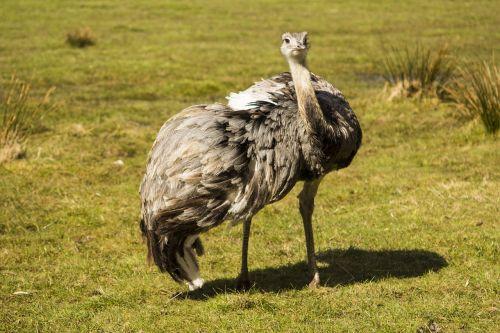 rhea bird nature bird