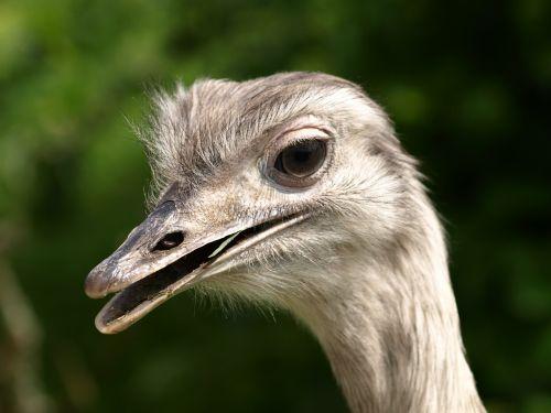 rhea bird head big bird