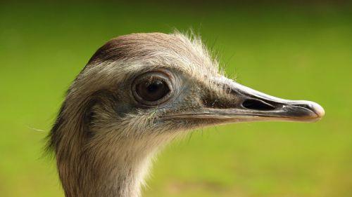 paukštis,galva,didelis paukštis,neskraidantis paukštis,paukštis,sąskaitą,portretas,gyvūnas,Uždaryti,gyvūnų portretas