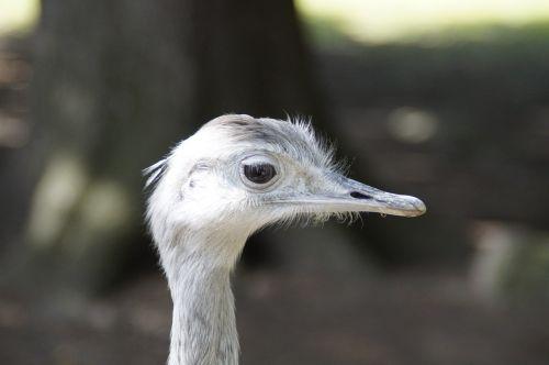 rhea bird face portrait