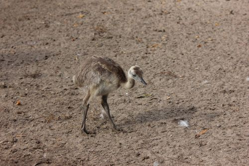 rhea bird flightless bird zoo