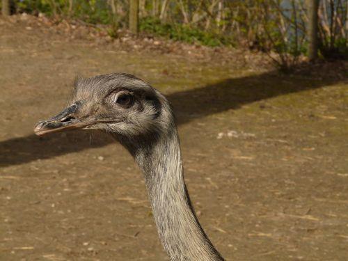 rhea bird bird rhea americana