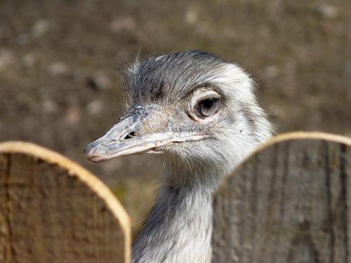 rhea bird flightless bird bird