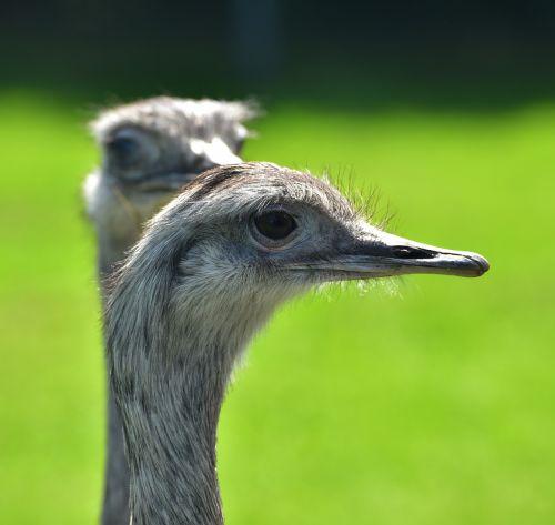 rhea bird flightless bird argentina