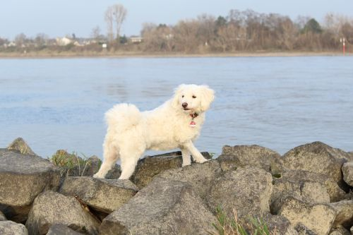 rhine water dog