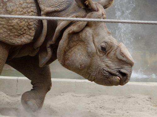 rhino zoo wild