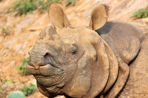 rhino zoo india one horned rhinoceros