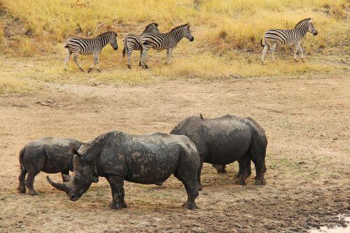 rhino zebra exciting