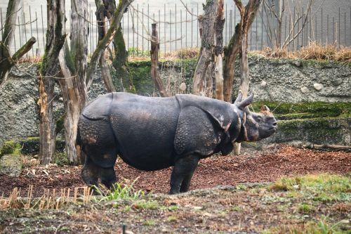 rhino male horn