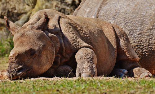 Rhino,jaunas gyvūnas,laukinis gyvūnas,žinduolis,gamta,gyvūnas,zoologijos sodas,laukiniai,nemokami elnias,tierpark hellabrunn,Munich