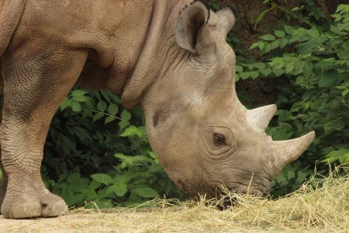 rhino st louis zoo
