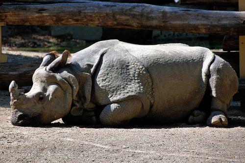 rhino lying zoo