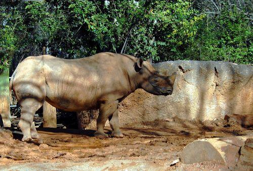 rhino wildlife animal