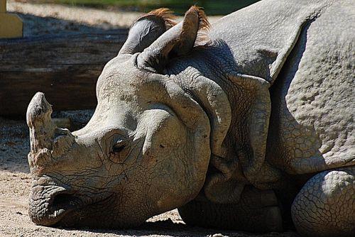 rhino closeup pachyderm