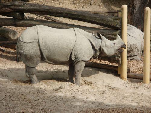 rhino black rhino zoo