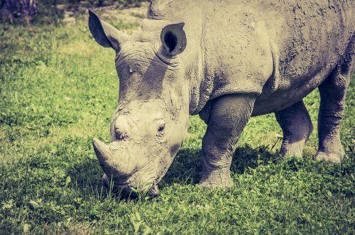 rhino eat grass
