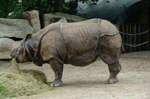 rhino perissodactyla mammal