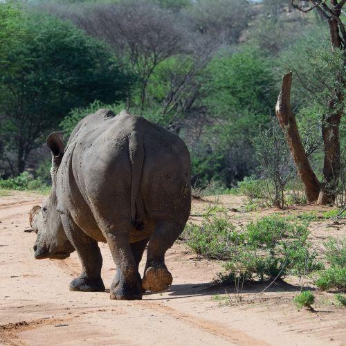 Rhino,žinduolis,Namibija