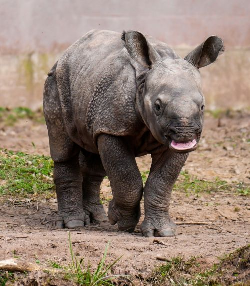 rhino animal pachyderm