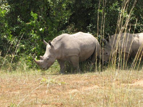 rhino white rhino uganda