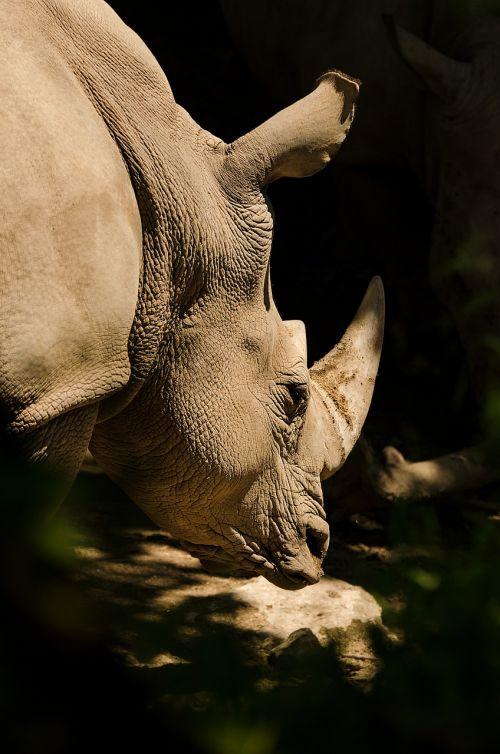 rhino white rhino rhinoceros