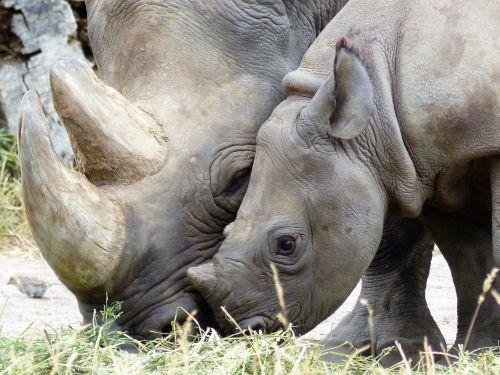 rhino black rhino magdeburg