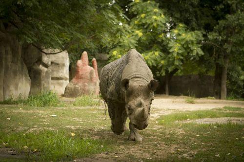 rhino rhino at zoo rhino walking toward camera