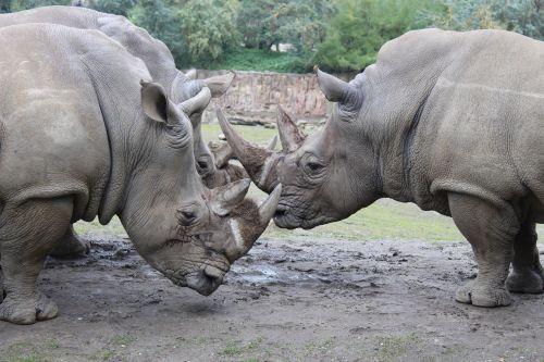 rhino animals zoo