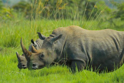 rhino uganda nature photos