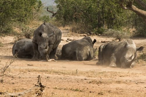rhino africa safari