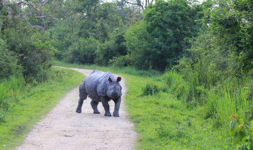 rhino kaaziranga ready to run