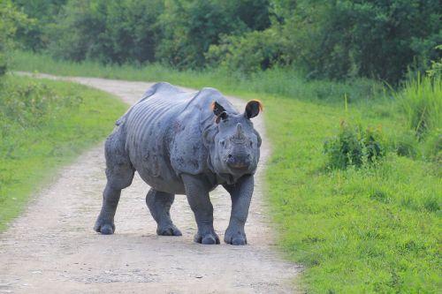 rhino kaaziranga aggressive