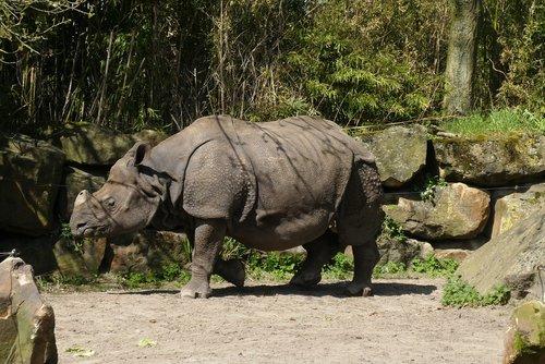 rhino  zoo  bijdorp