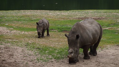 rhino  rhino young  steppe