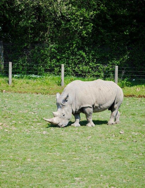 rhino  cerza  savannah