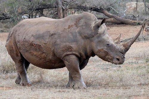 rhino  big-five  africa