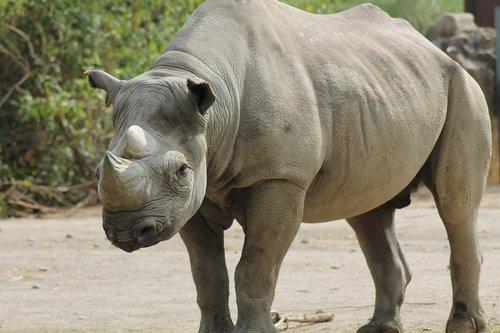 rhino  zoo  panzer