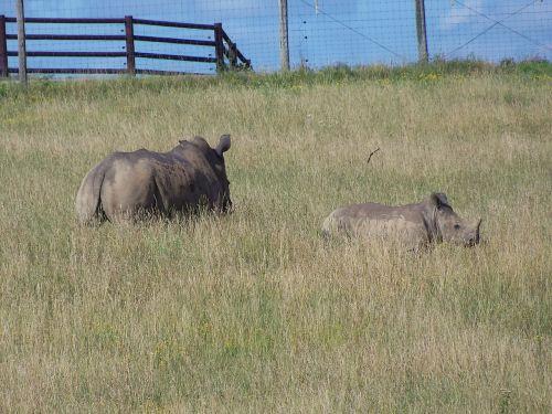 rhino southern white rhino the wilds