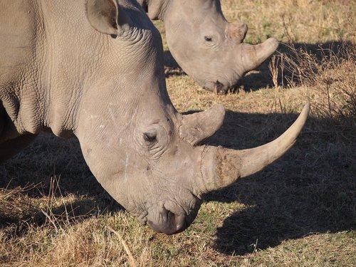 rhino  south africa  white rhino