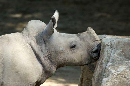 rhino white rhino baby rhino