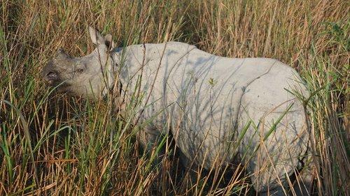 rhino  rhinoceros  india