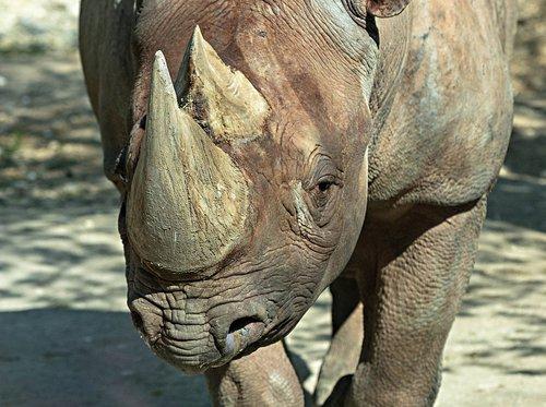 rhino  zoo  pachyderm