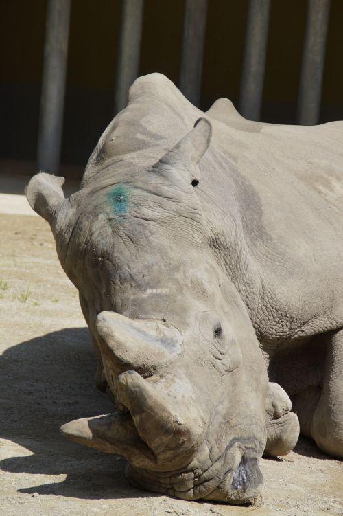 rhino concerns horns