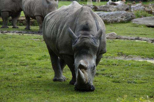 rhino close horn