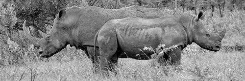 rhino  portraits  animal portraits