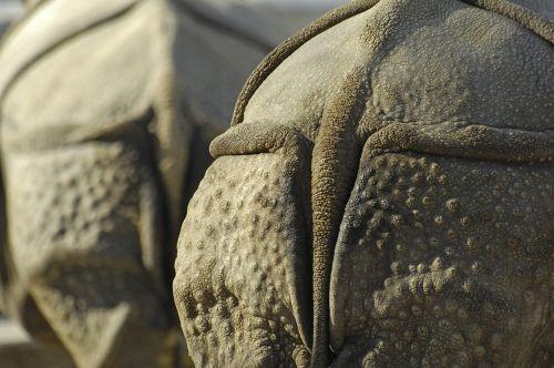 rhino rump animal